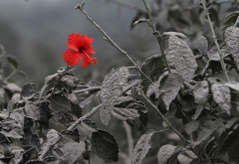 hybiscus in ash.jpg