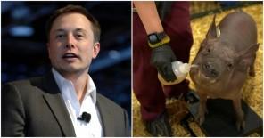Elon Musk Neuralink pig