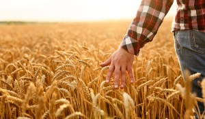 harvest-wheat-farmer-hand